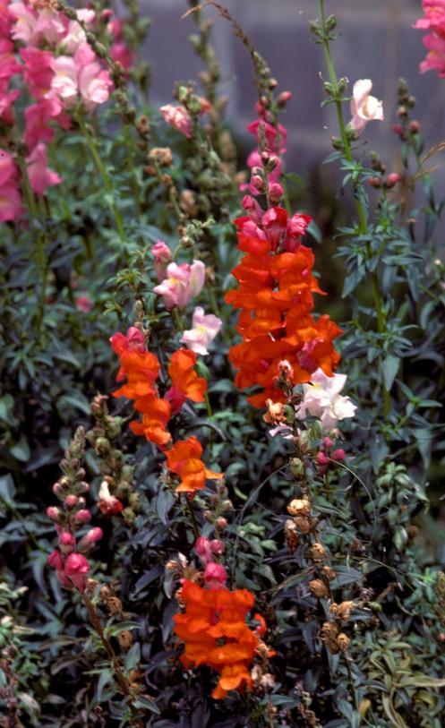flowers-in-yard-kahmish-mushayt-sa-3-702