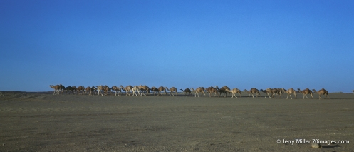 Wild Camels roaming Nefud Desert.